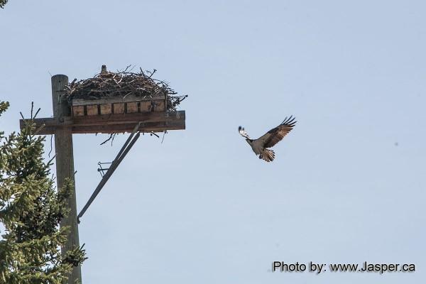 Osprey in for a landing